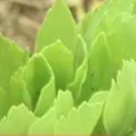 長寿草と花良治みかんと畑仕事が喜界島の人の長寿の秘訣?